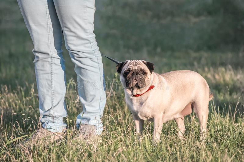 Female Pug dog staying on green grass with her owner. Female Pug dog staying with her owner royalty free stock image