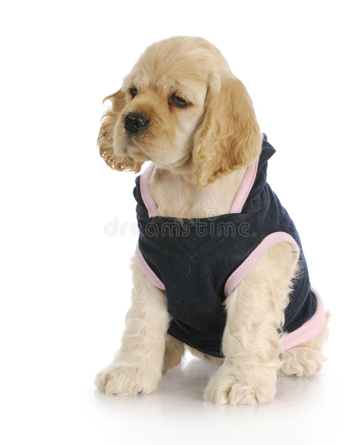 Female puppy. Cocker spaniel puppy wearing blue and pink dog coat with reflection on white background royalty free stock photos