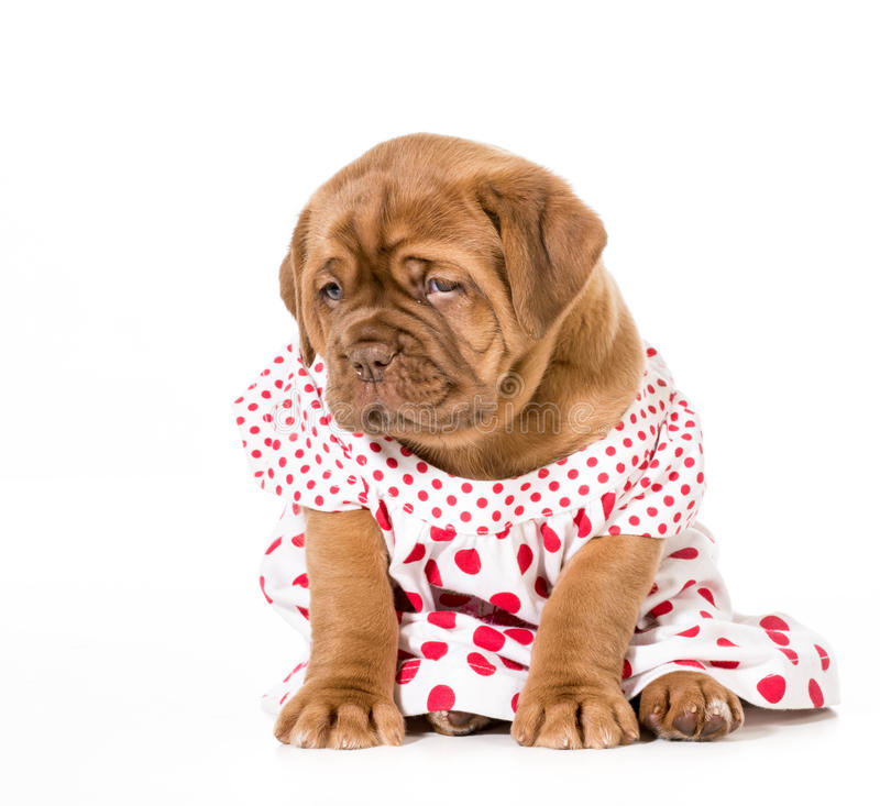 Download Female puppy stock image. Image of female, dressed, outfit - 42361771