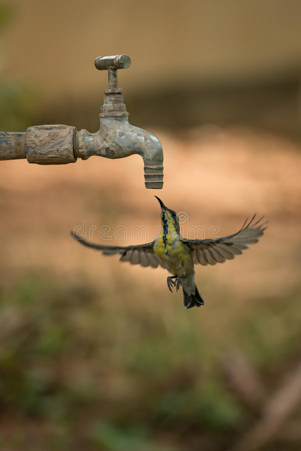 Female purple sunbird hovering under garden tap royalty free stock photography
