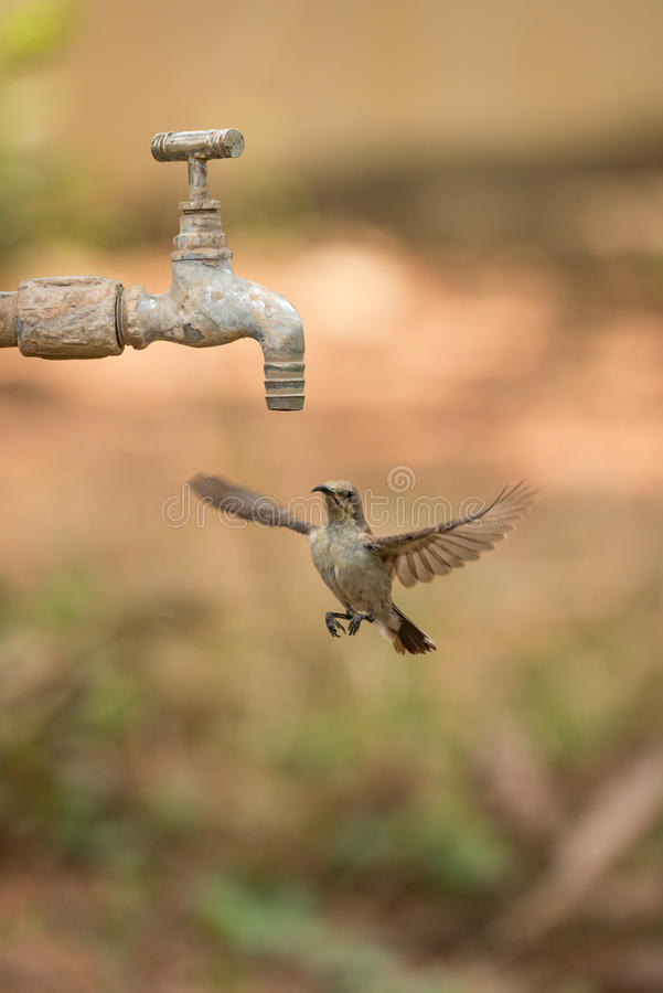 Female purple sunbird hovering under outdoor tap royalty free stock images