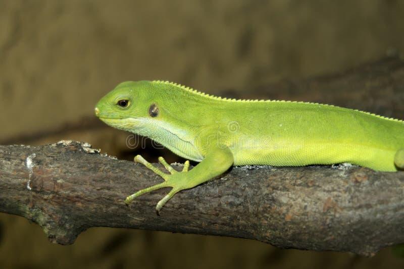 Female rare Fiji banded iguana, Brachylophus fasciatus royalty free stock photography