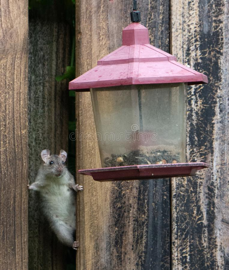 Female Rat Peering at Bird Feeder. Female gray rat with large round ears is peering out of a brown wood fence at ta partially filled red and clear plastic bird royalty free stock photography