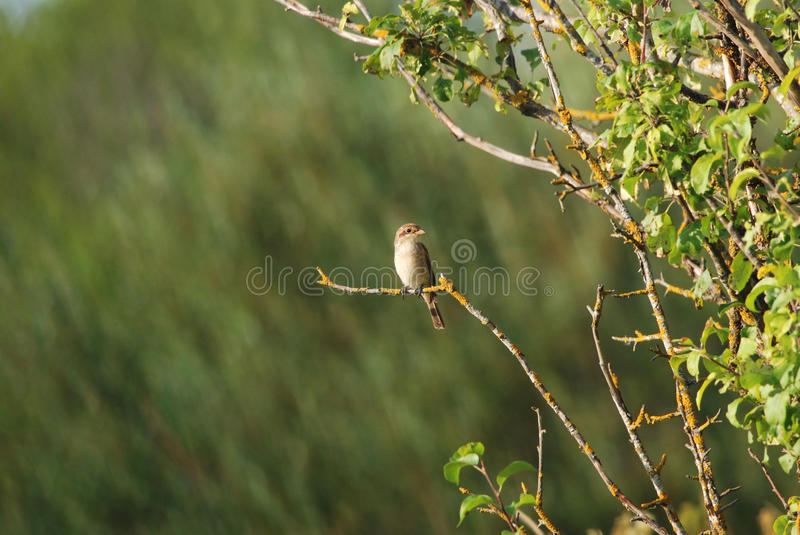 Female Red-Backed Shrike. On a branch stock images