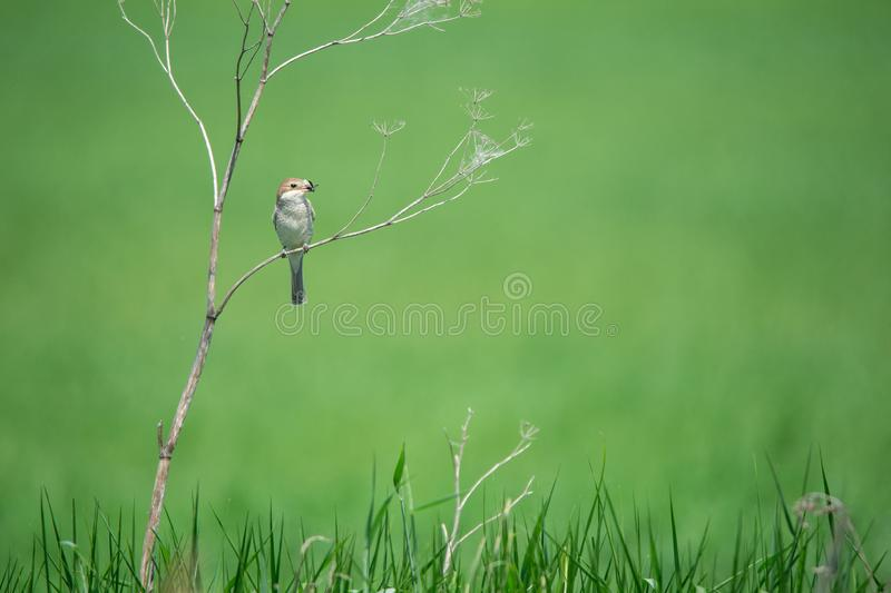 Female red backed shrike with an insect in the bill sitting on a fragile arid plant on a soft green nature background royalty free stock photography