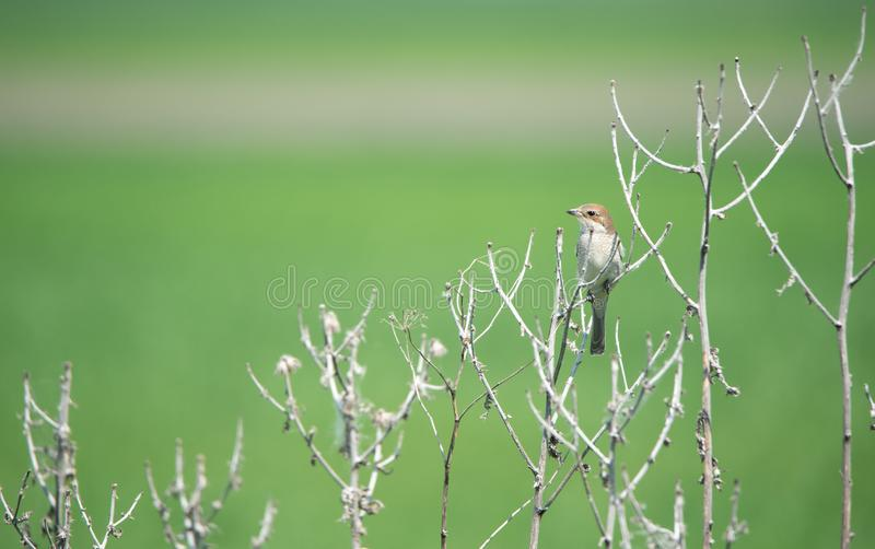Female red backed shrike on a soft green background sitting in the leafless brushwood royalty free stock image