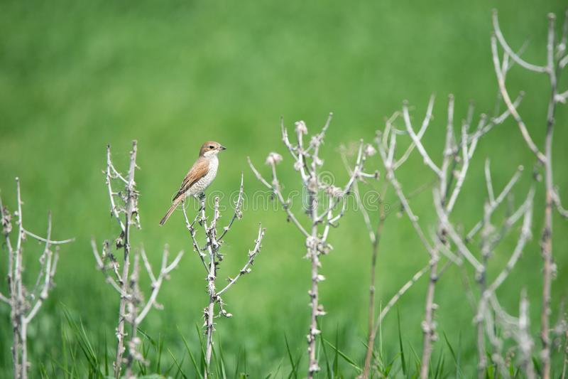 Female red backed shrike on a soft green background sitting in the leafless brushwood royalty free stock photo