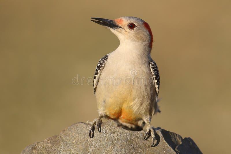 Female Red-bellied Woodpecker Melanerpes carolinus stock image