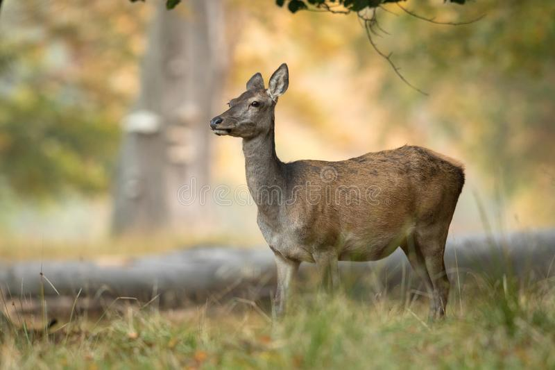 Female red deer standing in an old forest in Denmark. Beautiful light in the background stock photos