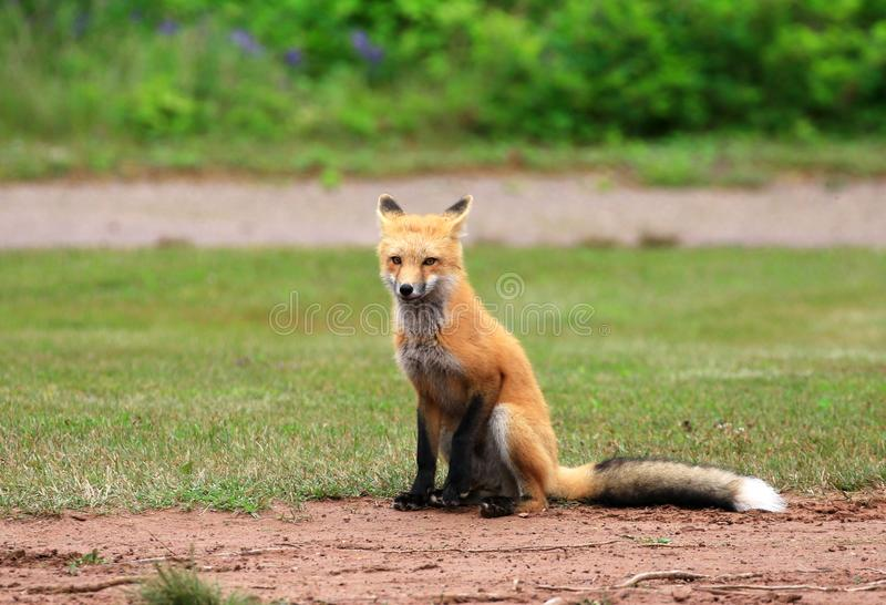 Female Red Fox Vixen Posing in a Grass Meadow, Prince Edward Island , Canada. Green royalty free stock photos