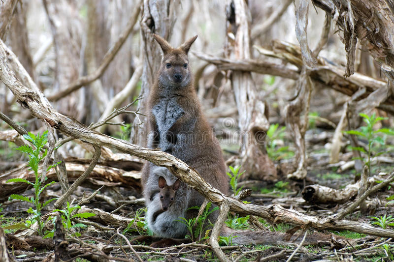 Female red-necked wallaby with a joey stock image