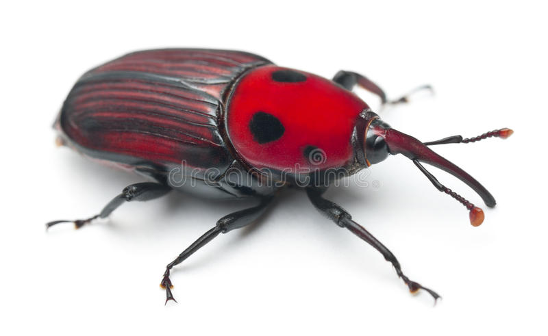 Download Female Red palm weevil stock photo. Image of indoors - 21062526