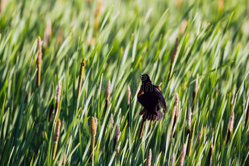 A female Red-winged Blackbird atop a cattail shows his epaulets stock photography