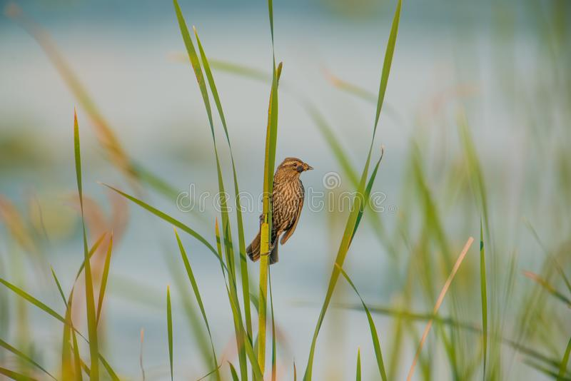 Female red-winged blackbird with hunted insects hanging out of her mouth holding onto reeds in a sea of tall grasses on a windy stock images