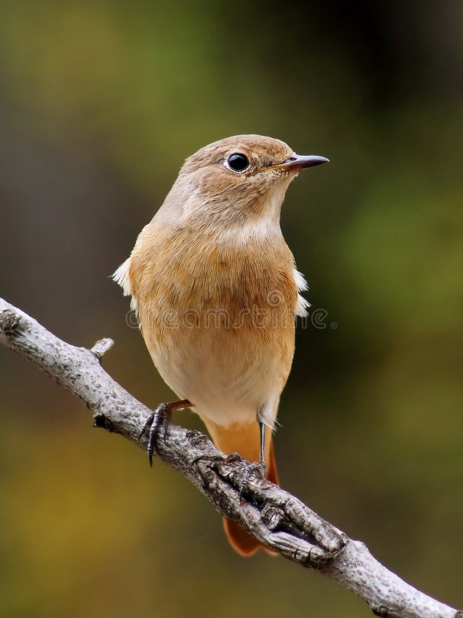 Female redstart royalty free stock photography