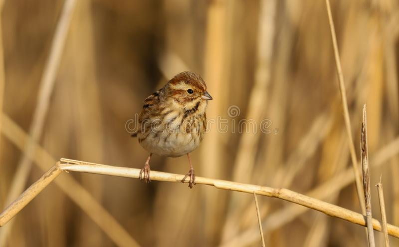 Female reed bunting Emberiza schoeniclus bird in the spring sunshine stock image