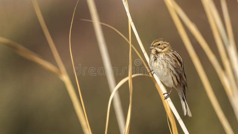 Female Reed Bunting. Emberiza schoeniclus is looking around on reed royalty free stock image