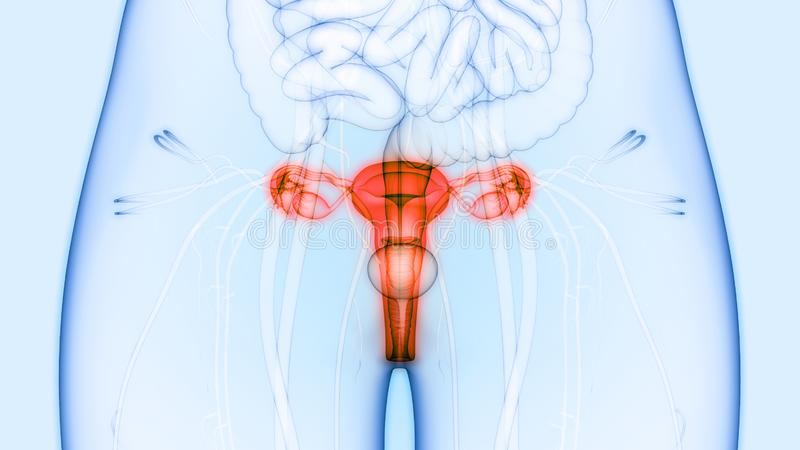 Female Reproductive System and Urinary System Kidneys with Bladder Anatomy. 3D Illustration of Female Reproductive System and Urinary System Kidneys with Bladder vector illustration