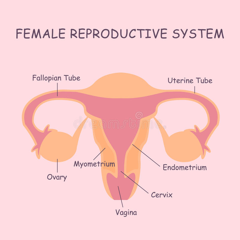Female reproductive system stock vector illustration of anatomy download female reproductive system stock vector illustration of anatomy 66975578 ccuart Image collections
