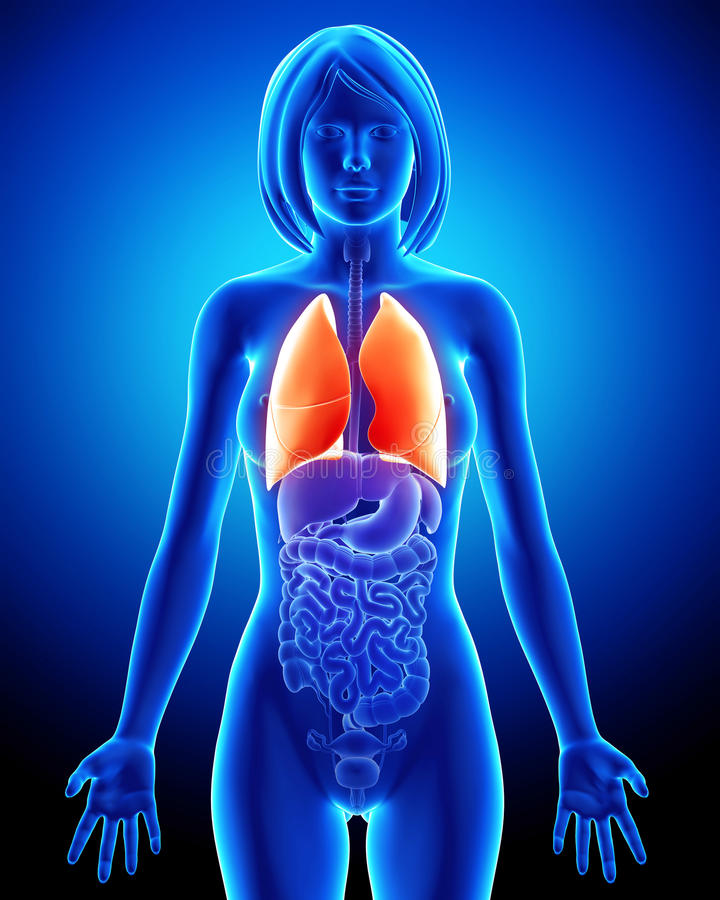 Female Respiratory System With Lungs Stock Illustration ...