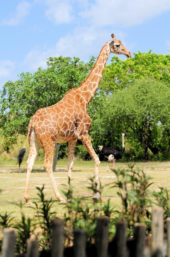 Download Female Reticulated Giraffe stock photo. Image of habitat - 24410420