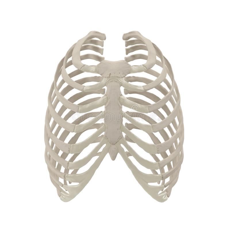 Female Ribcage Skeleton on white. Front view. 3D illustration. Female Ribcage Skeleton on white background. Front view. 3D illustration vector illustration