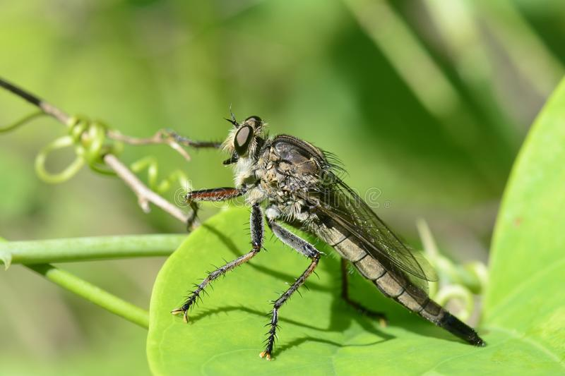 Female robber fly hunting from a greenbrier royalty free stock images