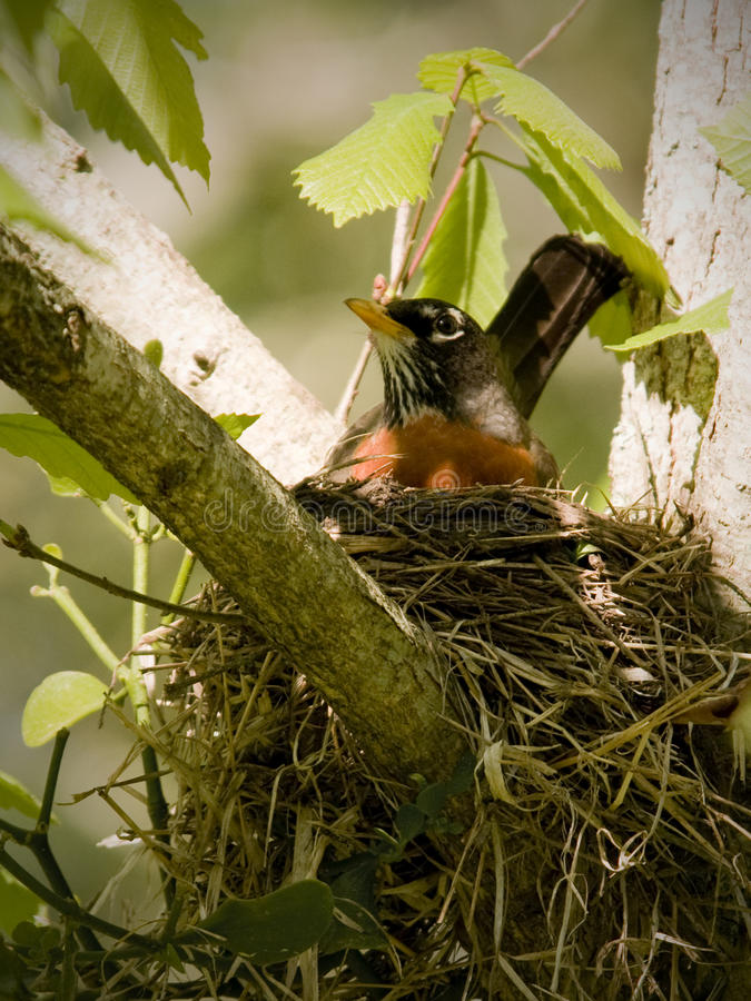 Female Robin in Nest in Tree royalty free stock image