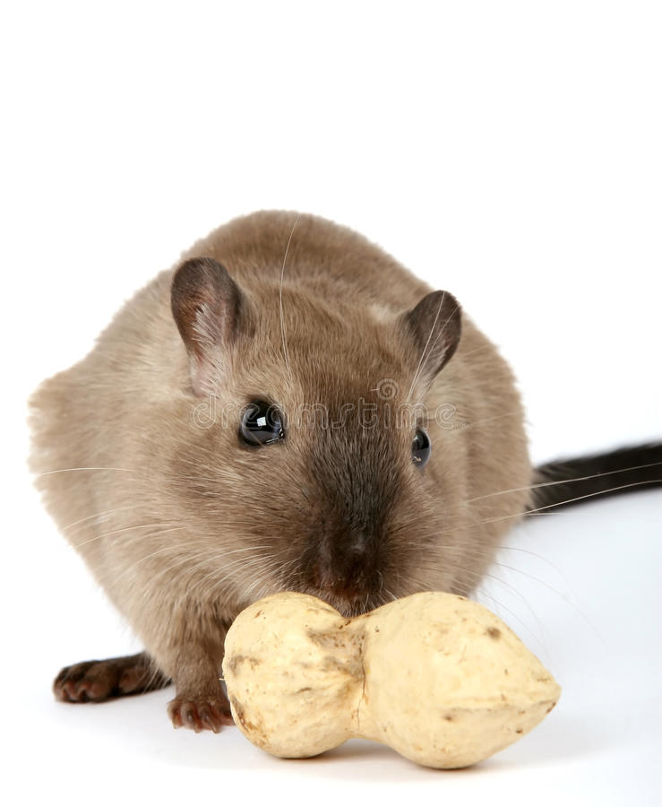 Female rodent with monkey nut peanut on white royalty free stock photography
