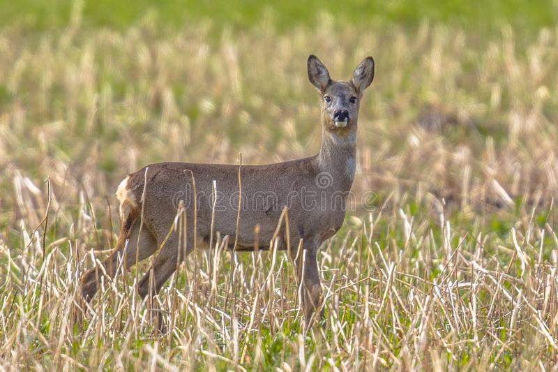 Female Roe deer standing in rural field stock image