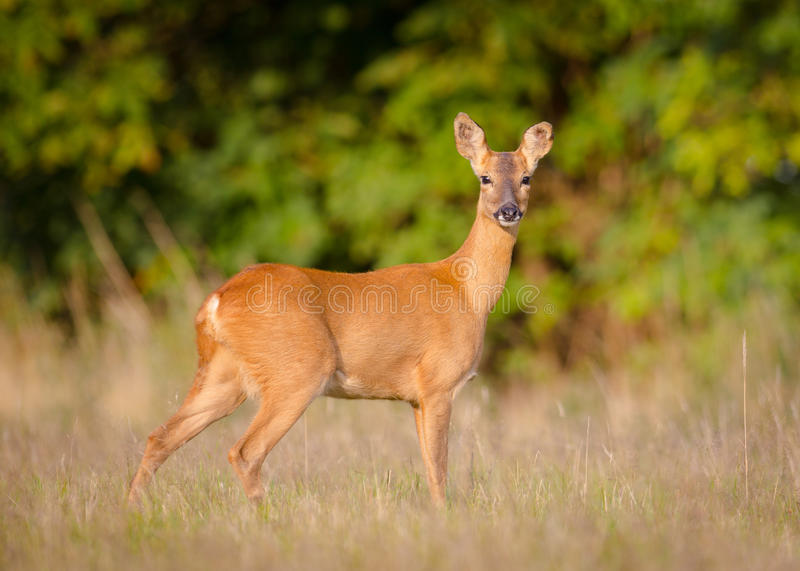 Female Roe deer. royalty free stock photography