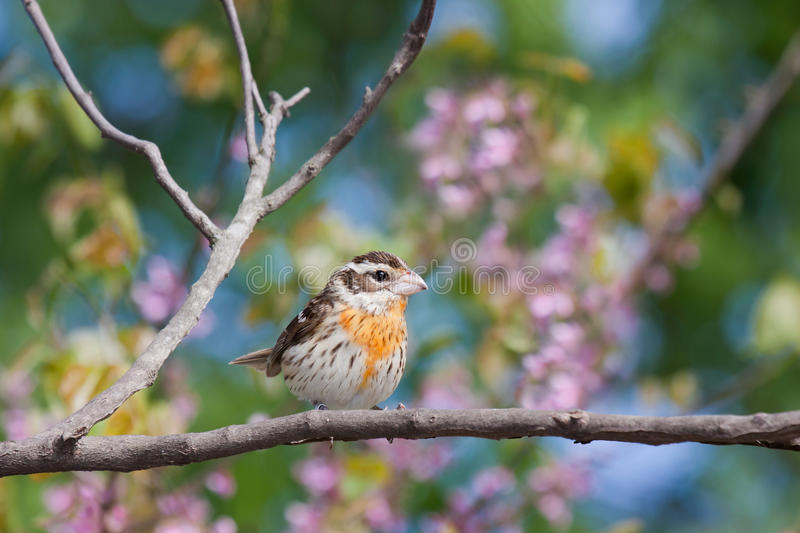 Female rose-breasted grosbeak. Displays its orange and yellwow colors as it perches on a branch. background consists of shallow focus of sky blue, pink and stock image