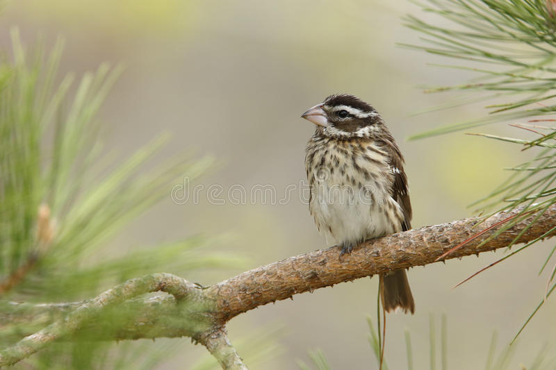 Female Rose-breasted Grosbeak Perched on a Pine Branch. Female Rose-breasted Grosbeak (Pheucticus ludovicianus) perched in a red pine tree in spring - Grand Bend stock image