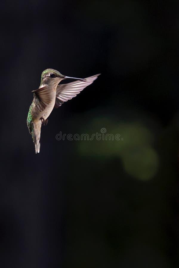 Female Ruby-throated hummingbird in flight. stock photos