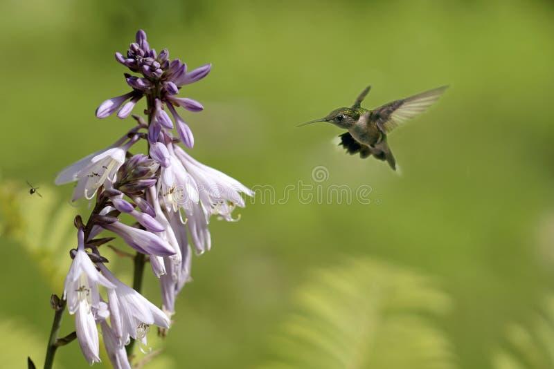 Female Ruby-throated hummingbird in flight. stock photography
