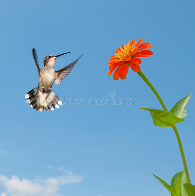 Female Ruby-throated Hummingbird Flying Royalty Free Stock Images