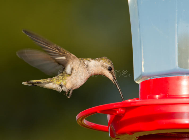 Female Ruby-throated Hummingbird hovering and feeding. At a feeder against green background stock photo