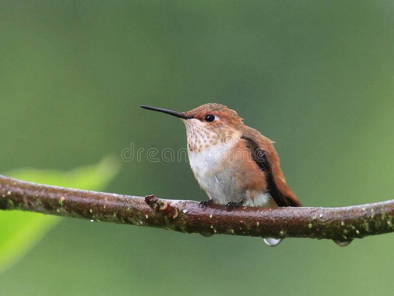 Female rufous hummingbird stock photos