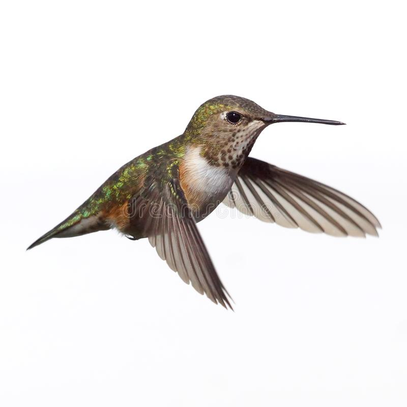A Female Rufous Hummingbird Isolated in Flight Against A White Background stock photography