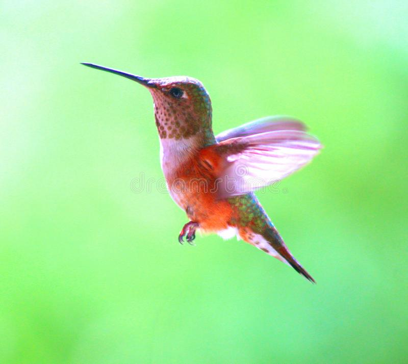 Female rufus hummingbird in flight. Female rufus hummingbird in the garden royalty free stock photography