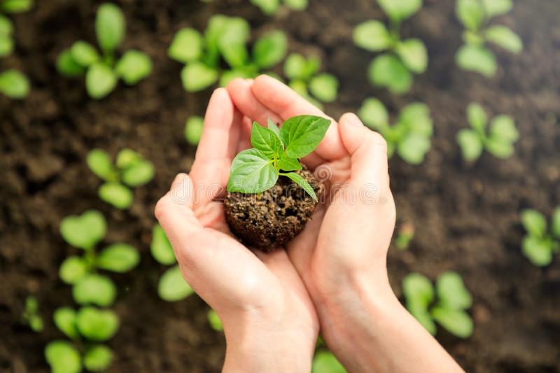 Female`s hands holding young plant royalty free stock photos