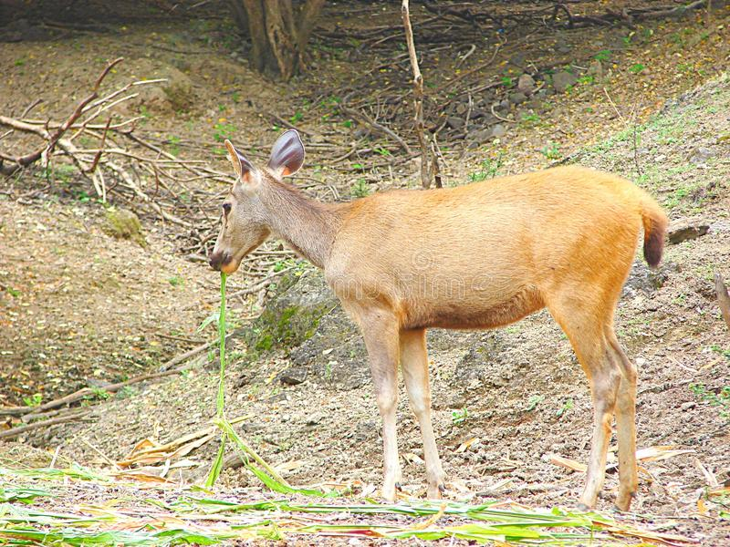 A Female Sambar Deer eating Grass. This is a photograph of a female sambar deer, also known as rusa unicolor, eating grass royalty free stock image