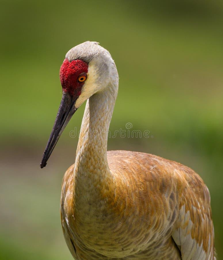 Female sandhill crane stock photos