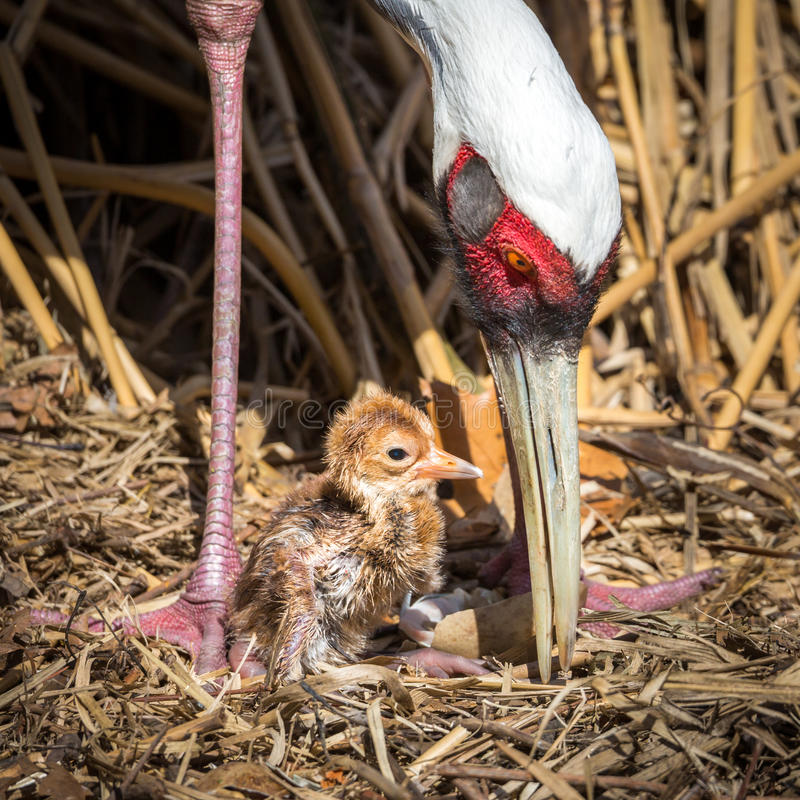 Female Sarus Crane protecting her just hatched baby chick. The Sarus Crane (Grus antigone) is the tallest flying bird stock photography