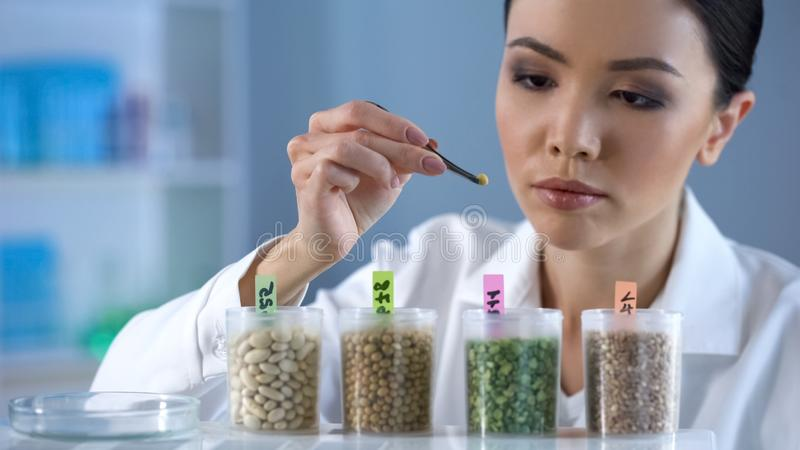 Female scientist holding pea grain with lancet, looking attentively, agriculture stock photos