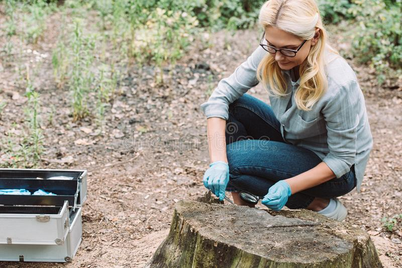 female scientist in latex gloves taking sample of bark of tree by tweezers and magnifier stock image