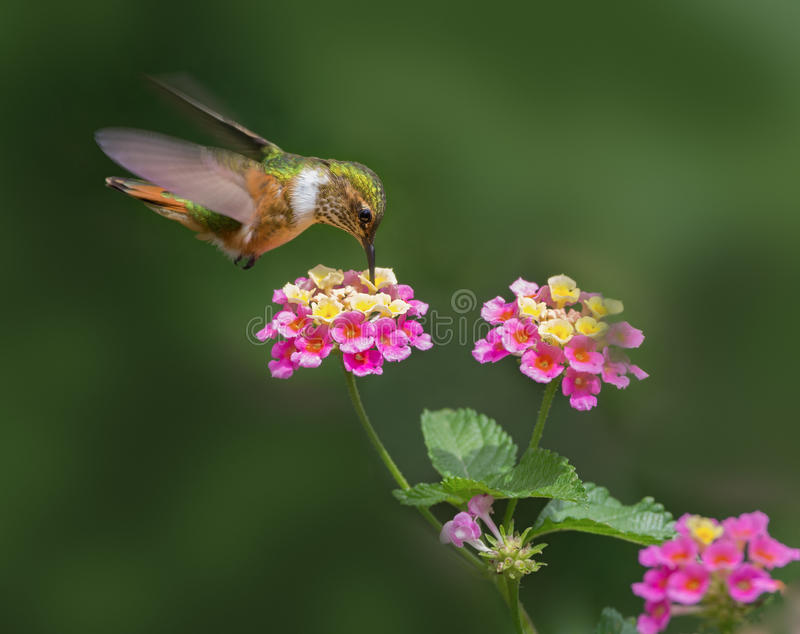 Female Scintillant hummingbird. Female Scintillant hummingbird Selasphorus scintilla feeding on lantana flowers in Boquete, Panama. This is one of the smallest stock images
