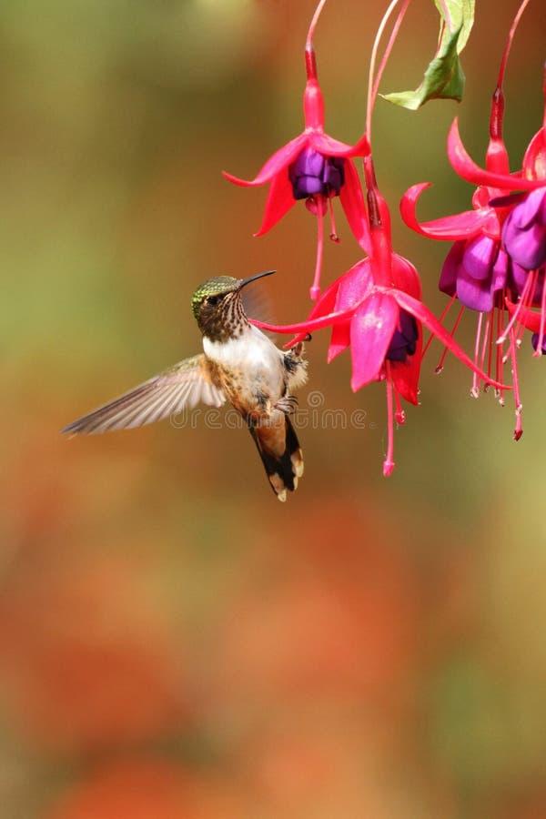 Female of Scintillant Hummingbird, Selasphorus scintilla, hovering next to red flower in garden, mountain tropical forest. Costa Rica, natural habitat stock photos