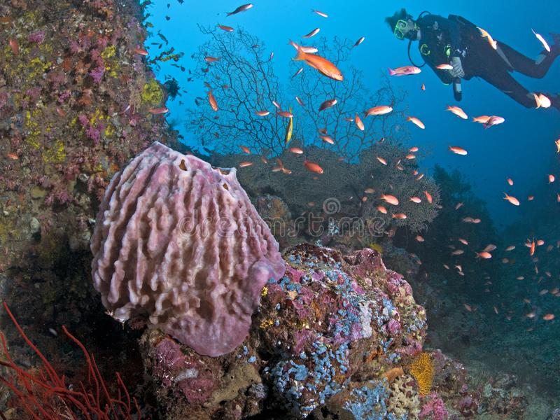 Female scuba diver explores coral reef at bottom of ocean canyon royalty free stock photography