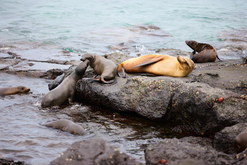 Female Sea Lion With Babies Stock Image